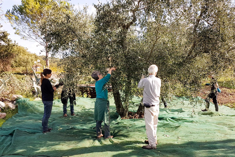 Olivenernte auf Podere Riparbella