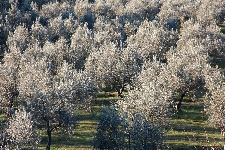 Olivenbäume auf Podere Riparbella