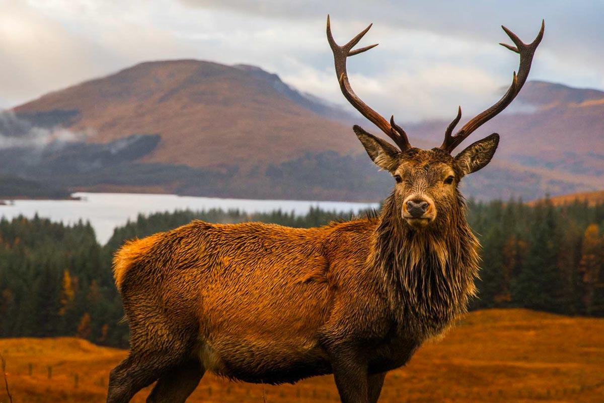 Deer Stalking Turin Castle Scotland