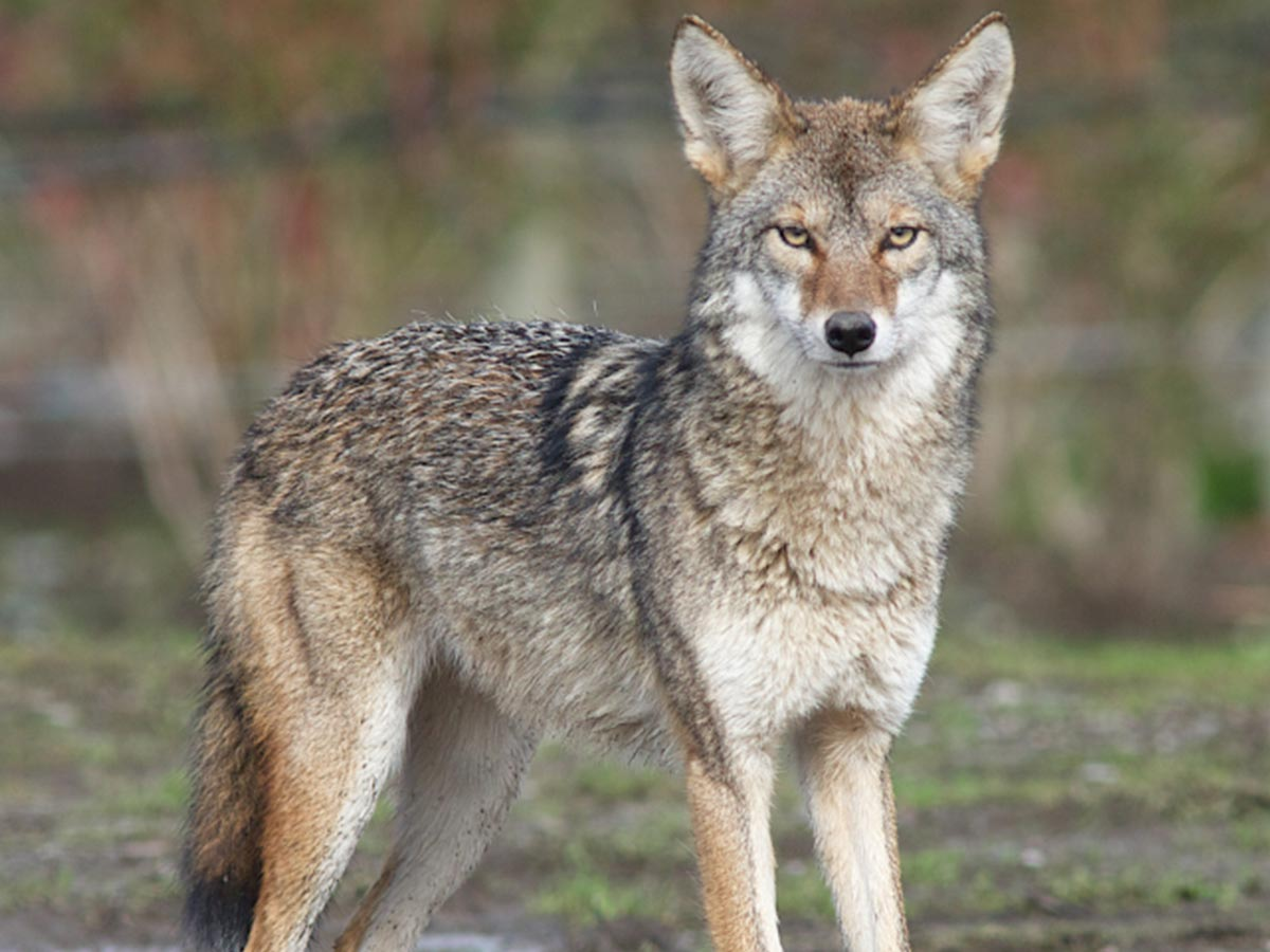 What should I do if I see a coyote OR a fox?