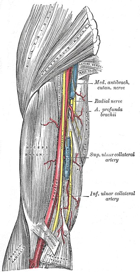 The brachial artery