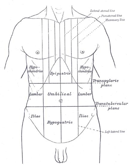 Thorax and abdomen