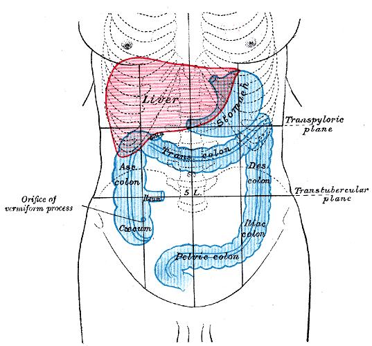 Front of abdomen