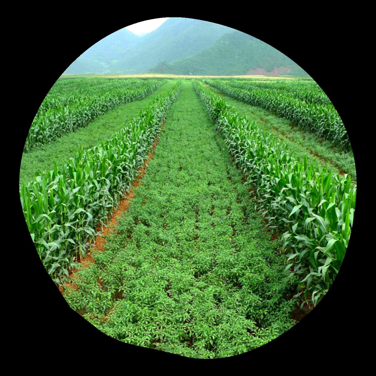 Klim Methode Intercropping