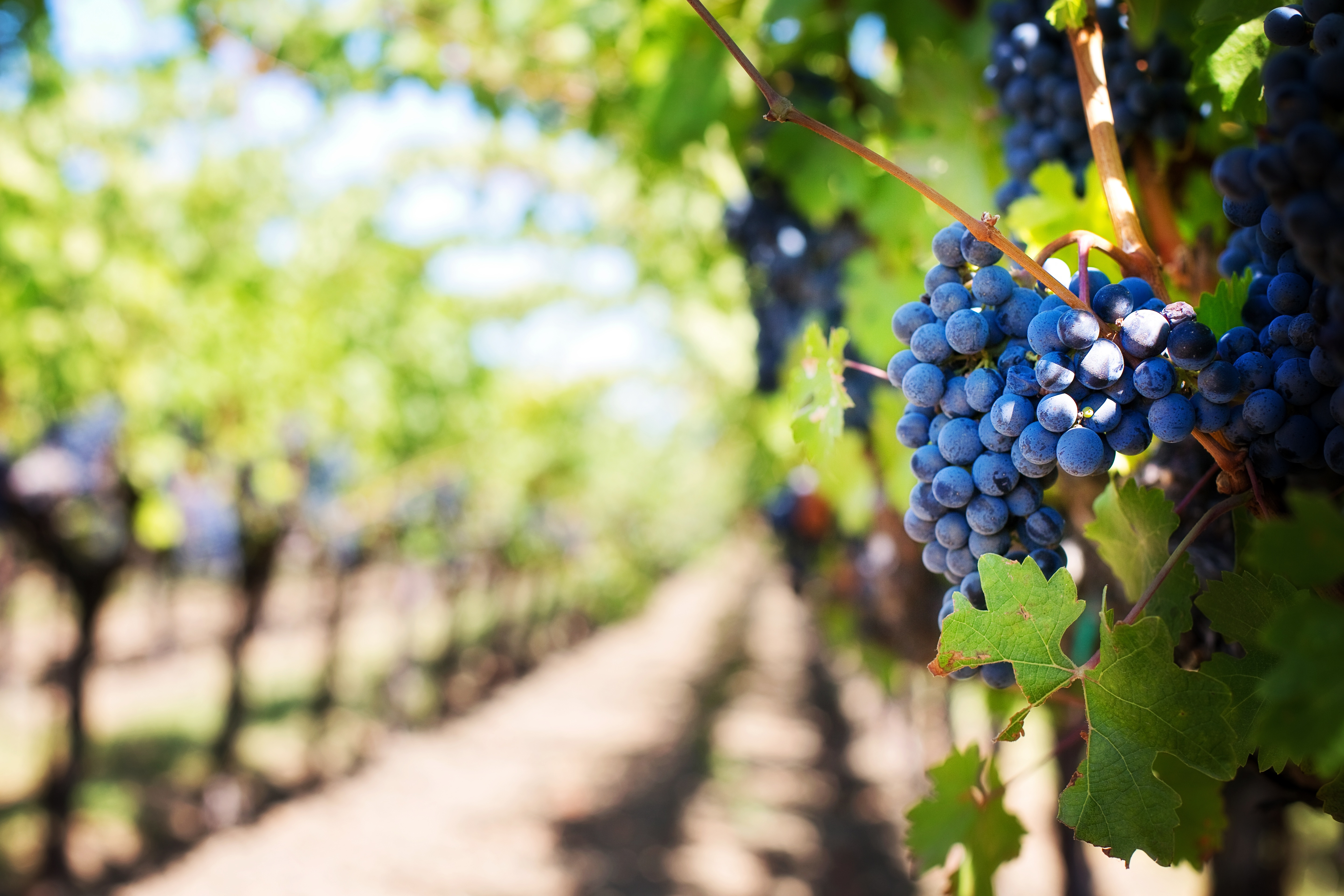 Cluster of wine grapes hanging on a wine. Fruit can be protected from oxidation even before it is harvested.