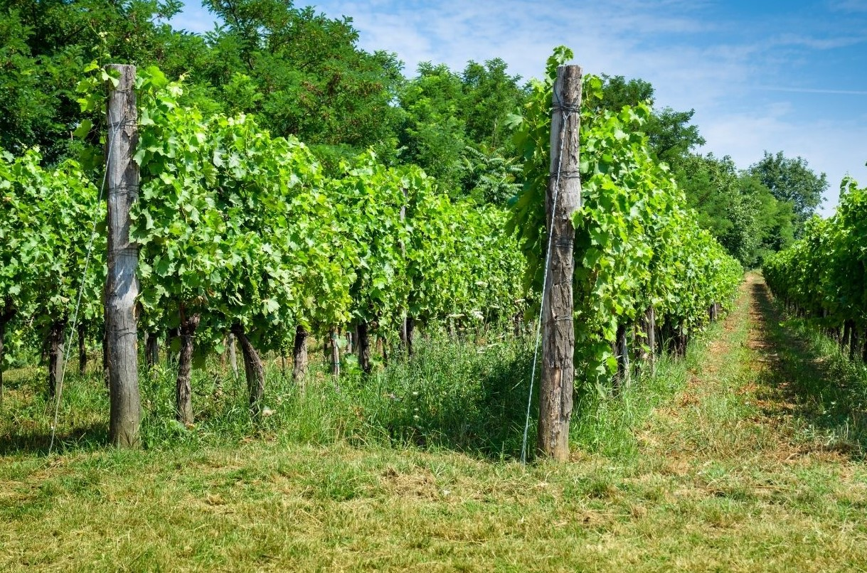 A vineyard that does not uses tillage and has a year round cover crop.