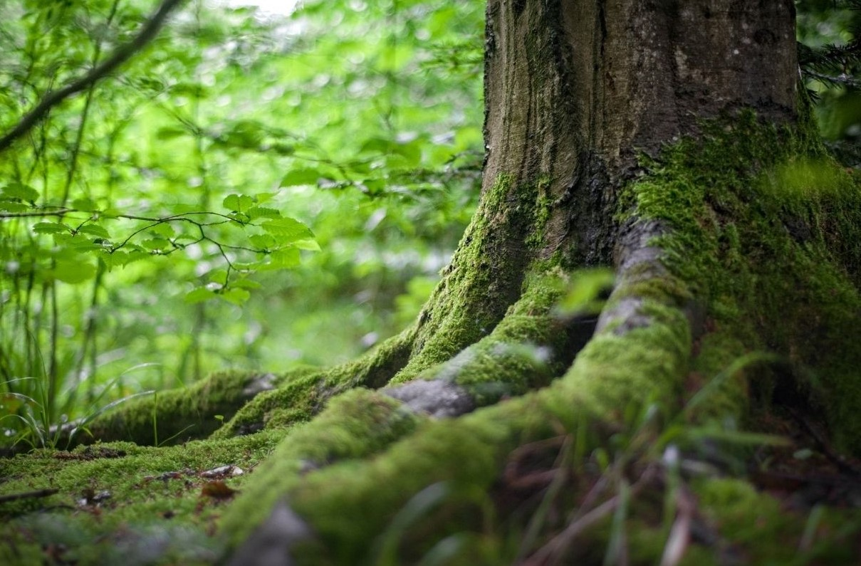 A forest that removes carbon emissions from the atmosphere.
