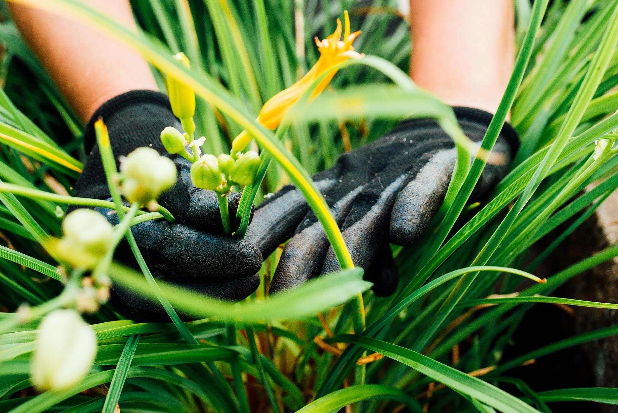 Entretien horticole sur des fleurs jaunes