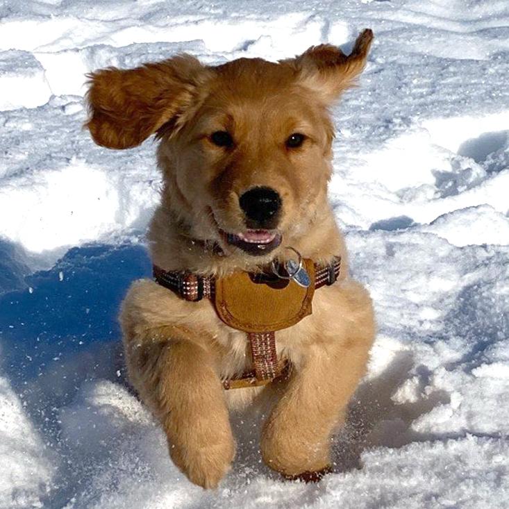 Testimonial image of Vorderosa Golden Retriever Puppy