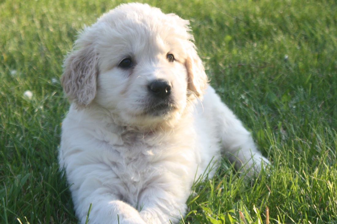 A Shiloh Pup laying in the grass