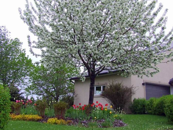 Malus Dolgo-(pommetier) fleurs faciles au jardin