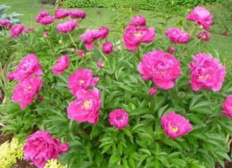 Paeonia Karl Rosenfield jardin fleurs faciles 1