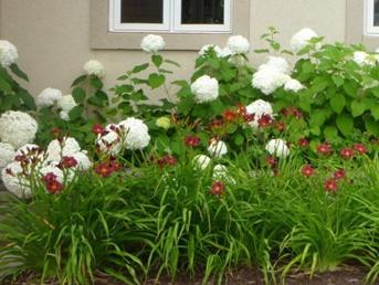 Hydrangea annabelle et Hemerocallis Pardon Me fleur facile au jardin