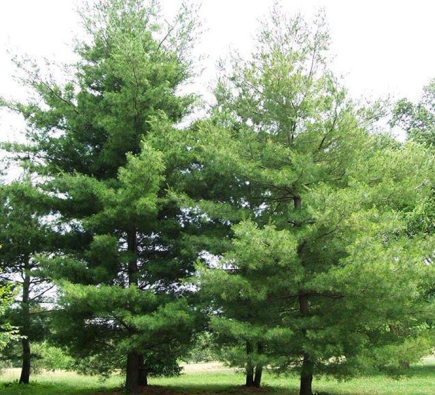 Pinus strobus (ou pin blanc) arbres faciles en aménagement paysager