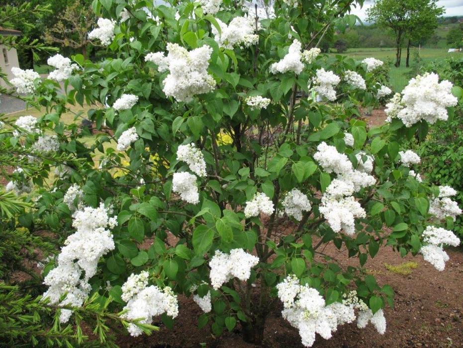 Syringa vulgaris Mme Lemoine fleurs faciles au jardin