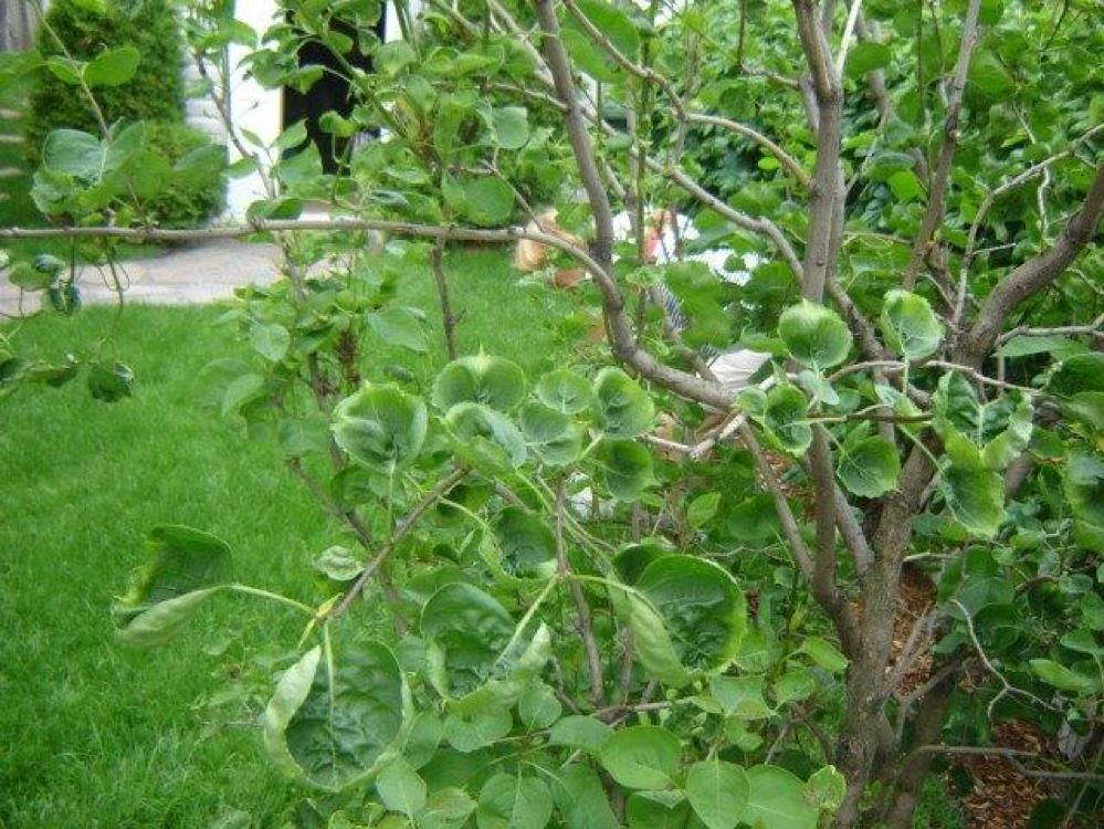 Dicamba sur lilas maladie plante au jardin