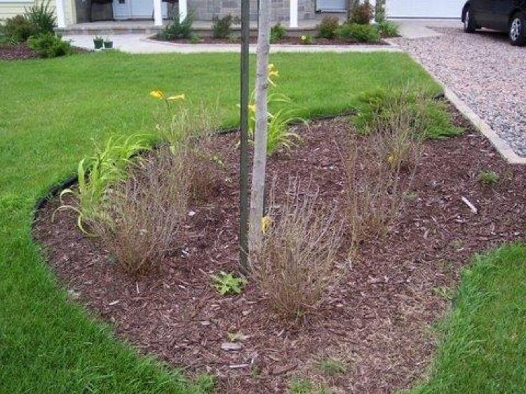 Dévastation par la tenthrède (chenille) pelouse jardin