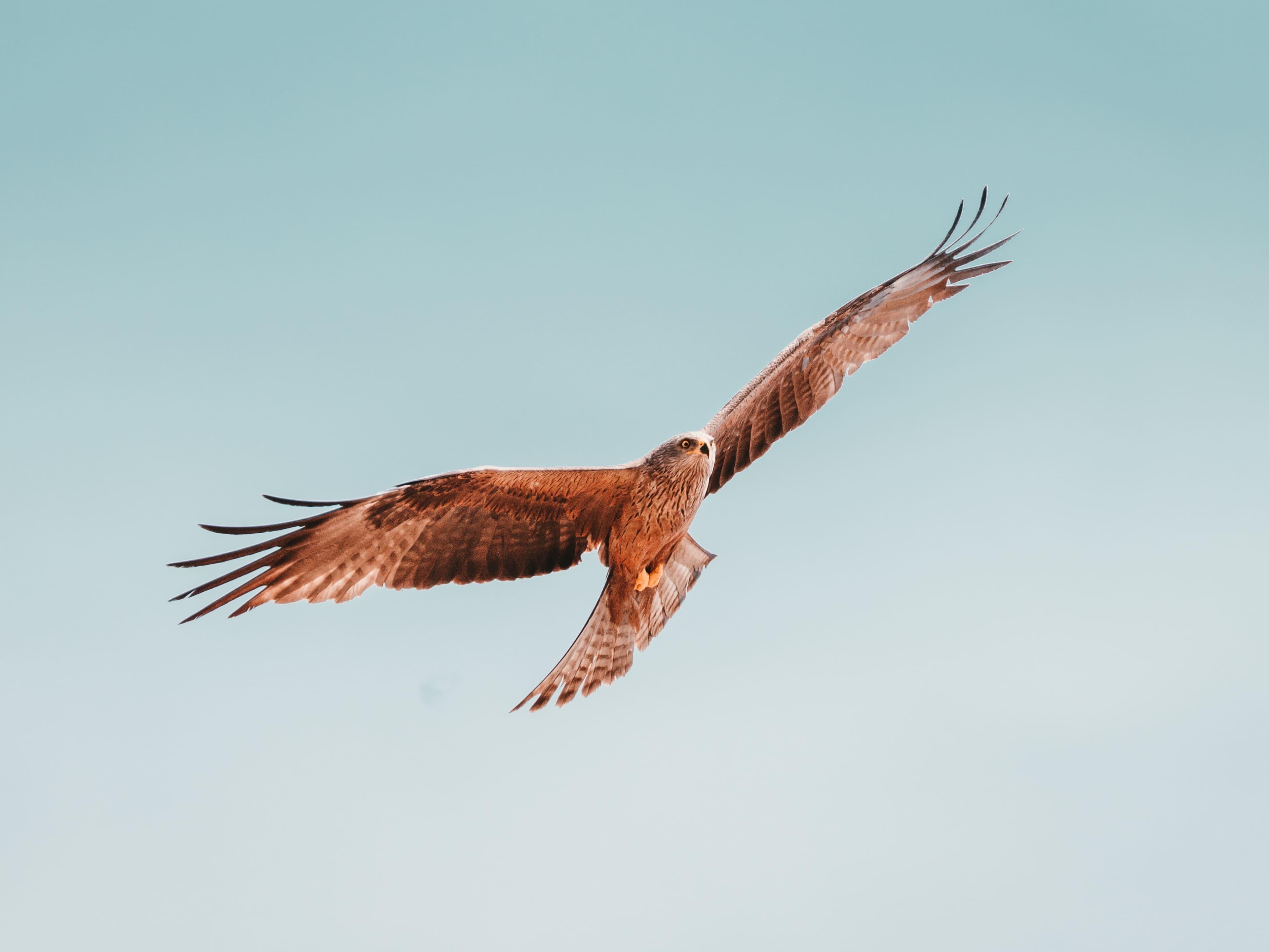 Ein Greifvogel (Rotmilan) fliegt am Himmel.