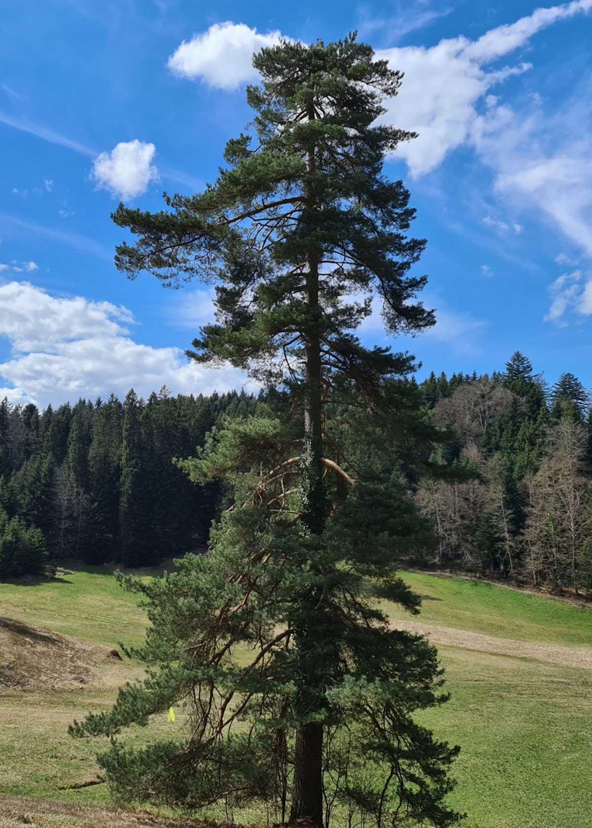 Unter strahlendem blauem Himmel steht ein einzelner Baum auf einer grünen Wiese.
