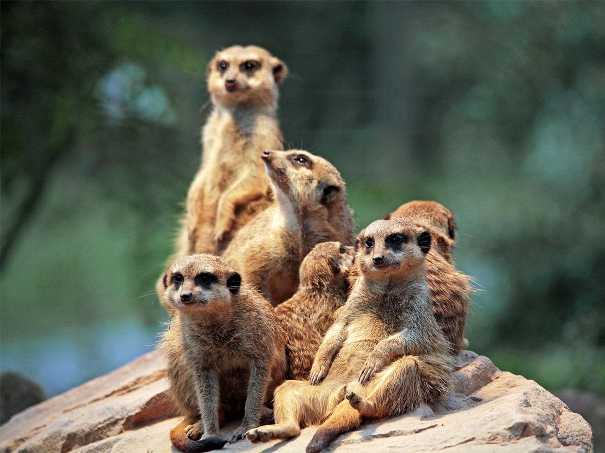 Eine sechsköpfige Erdmännchenfamilie sitzt zusammen auf einem Stein.