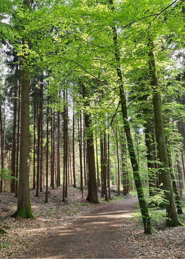 Eine Waldlichtung mit hohen Bäumen und Laub am Boden.
