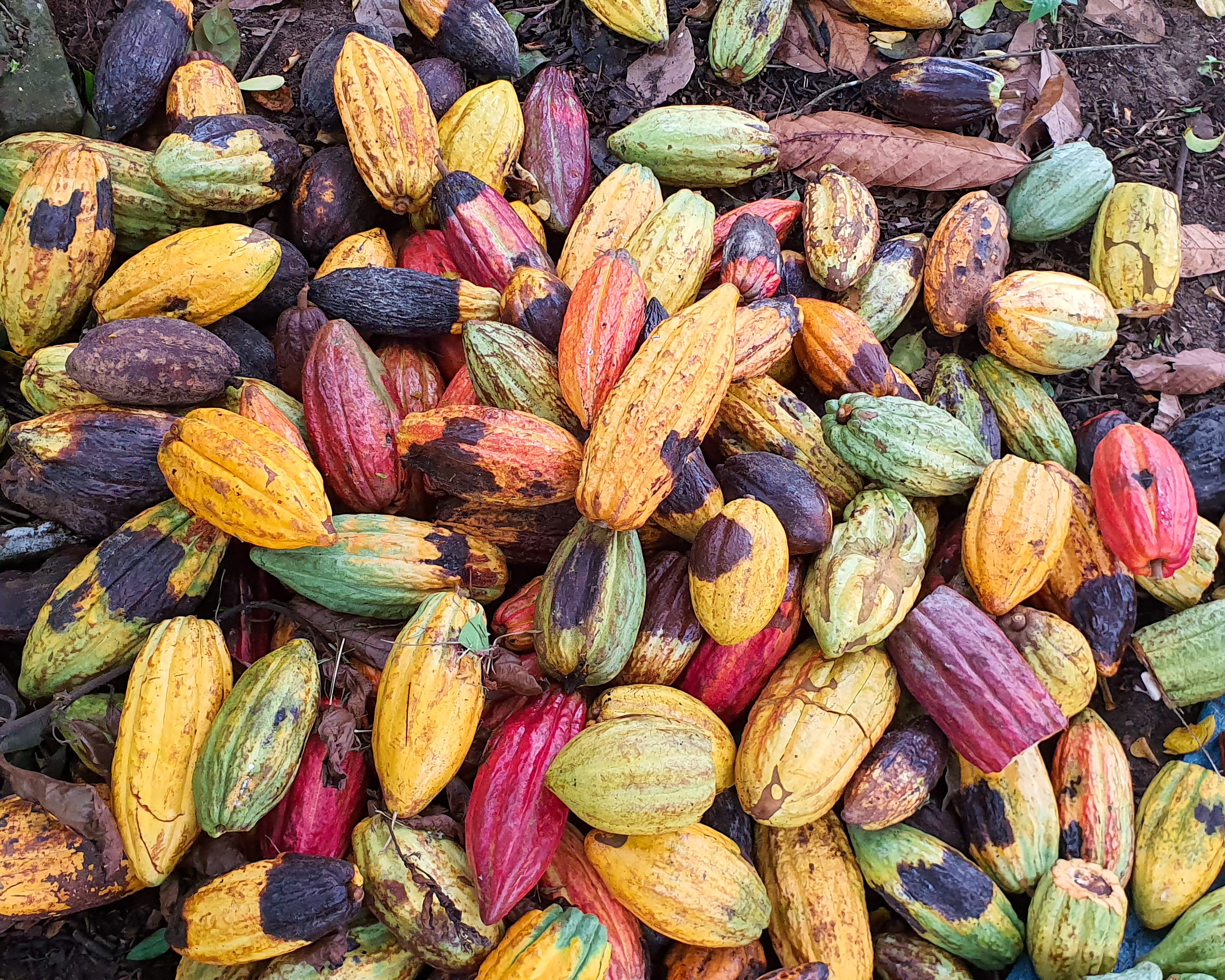 Cacao fruit many colors
