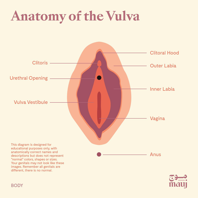 The anatomy of the vulva.
