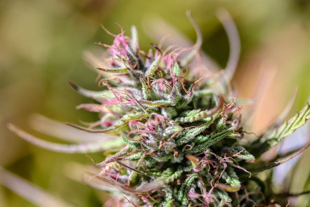 Closeup of sticky cannabis bud