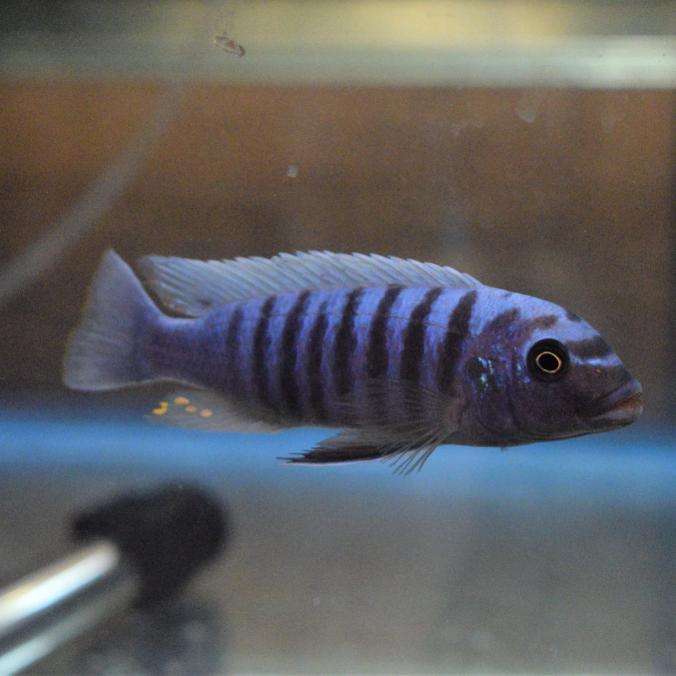 Wild Metriaclima Tarakiki Higga Reef & OB Females