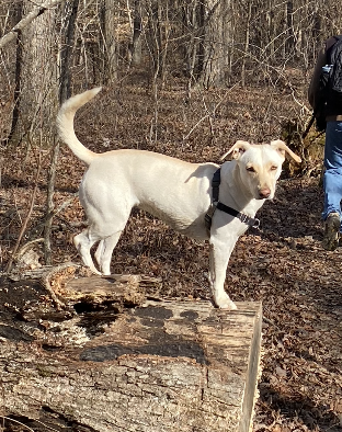 A dog standing on a log
