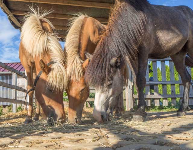 3 Pferde essen Heu