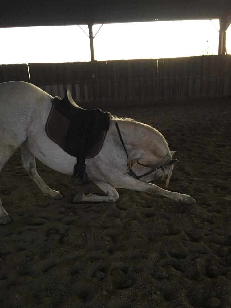 Un cheval espagnol fait la révérence dans le manège au écurie des sudriers