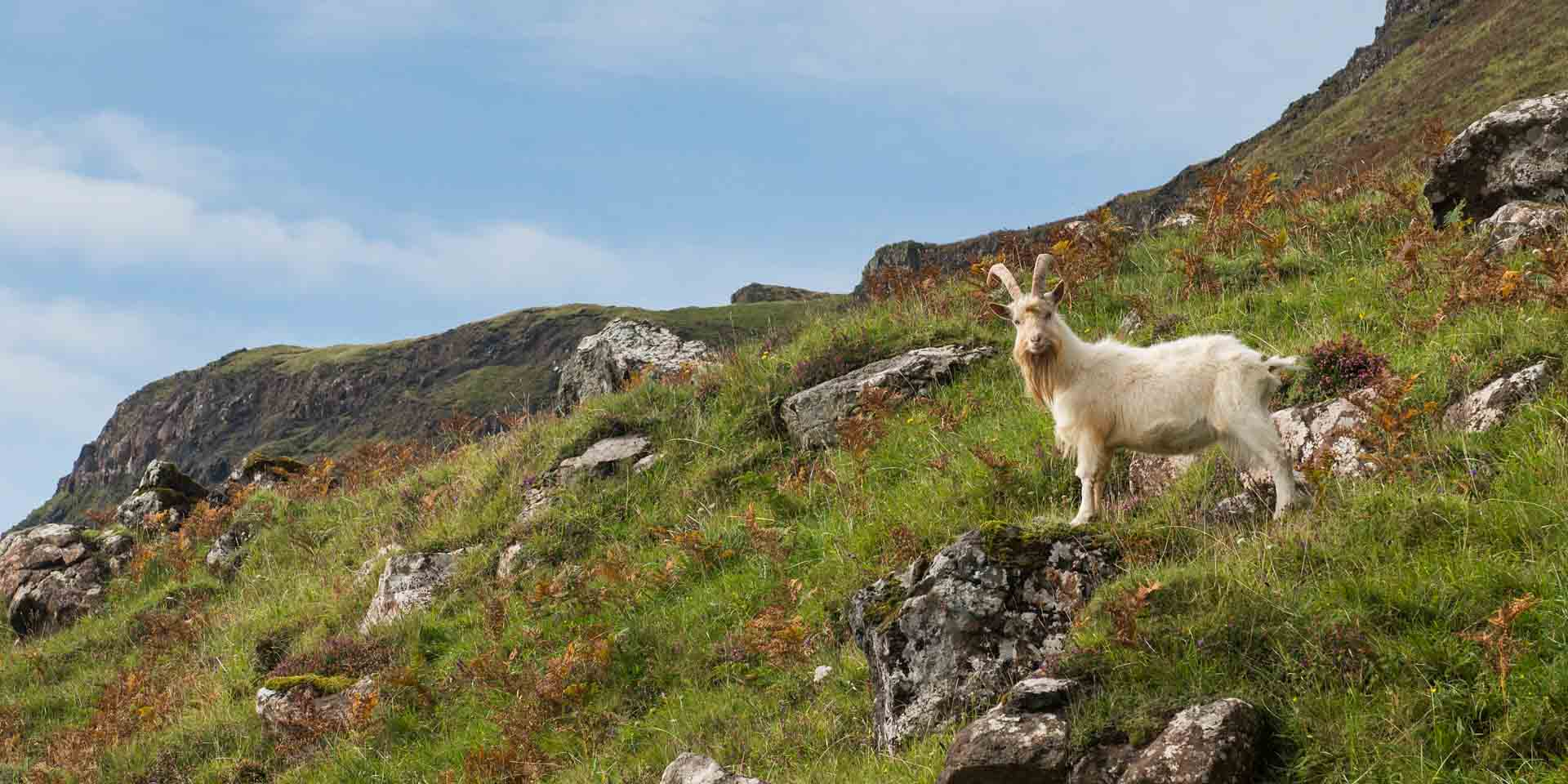 Freal goats on the Pennyghael Estate on the Isle of Mull, Scotland