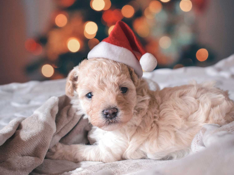 Puppy wearing a santa hat