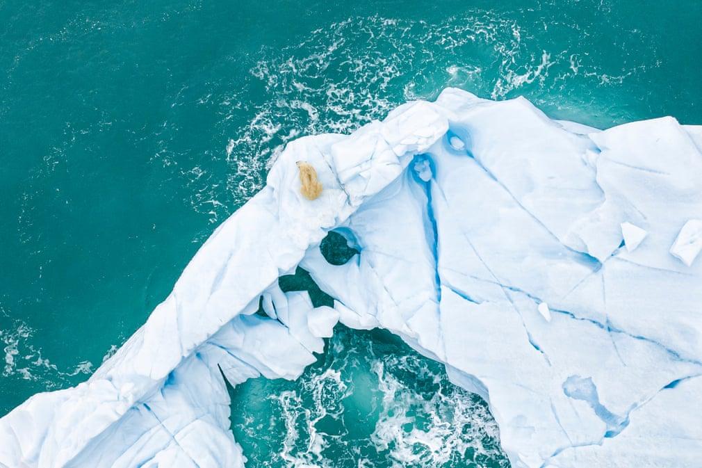 urs polar care cauta hrana poluarea oceanelor
