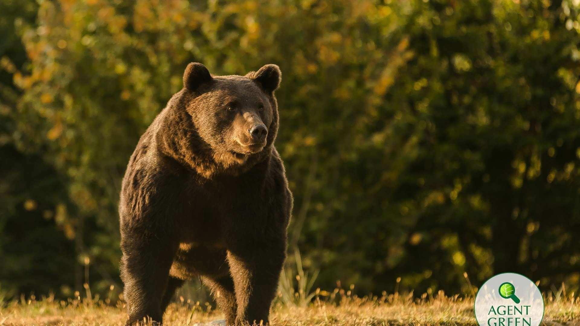 Controverse în jurul ursului brun ucis în Covasna. Activiștii de mediu spun că este vorba despre cel mai mare urs brun din țară, iar ministrul Mediului spune ca nu se poate pronunța