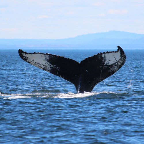 whale tail poking out of the water