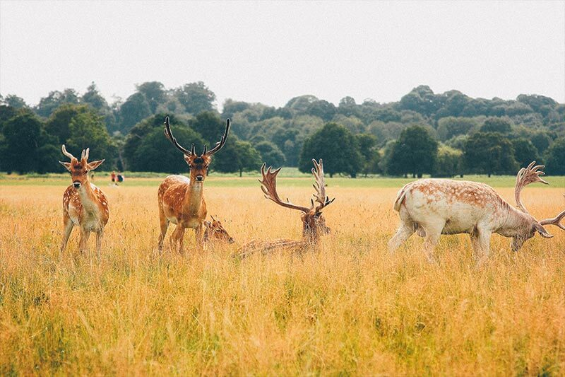 The deers at Richmond Park