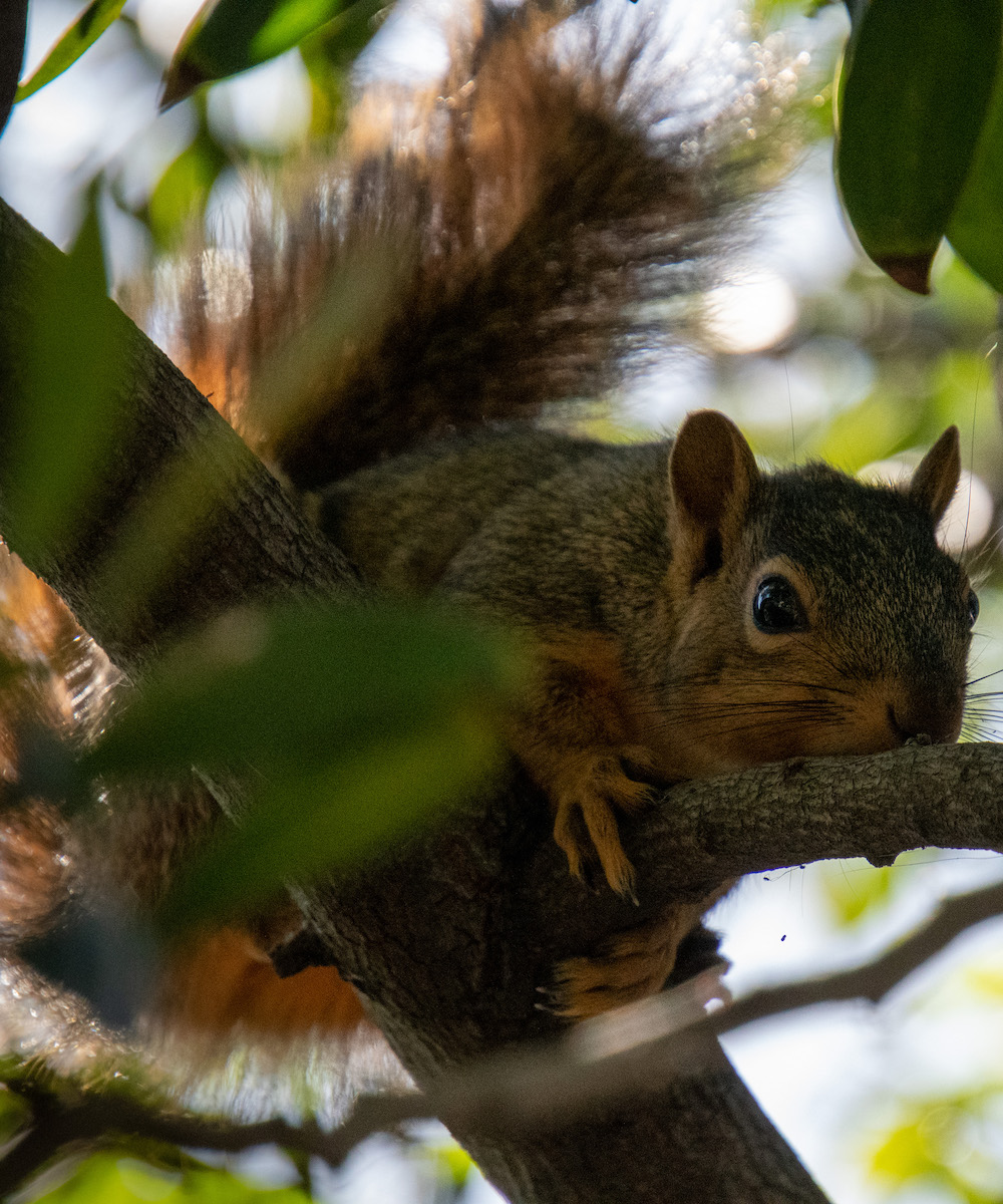 Close up image of a squirrel in a tree.