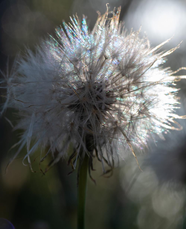 Close up image of a dandelion bud.