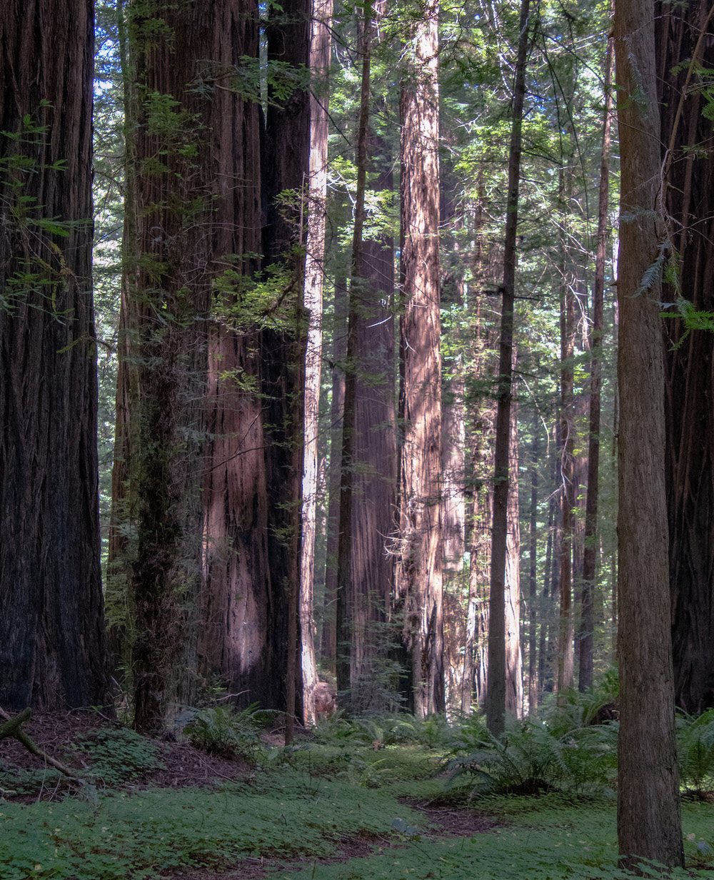 Image for redwood trees in a forest.