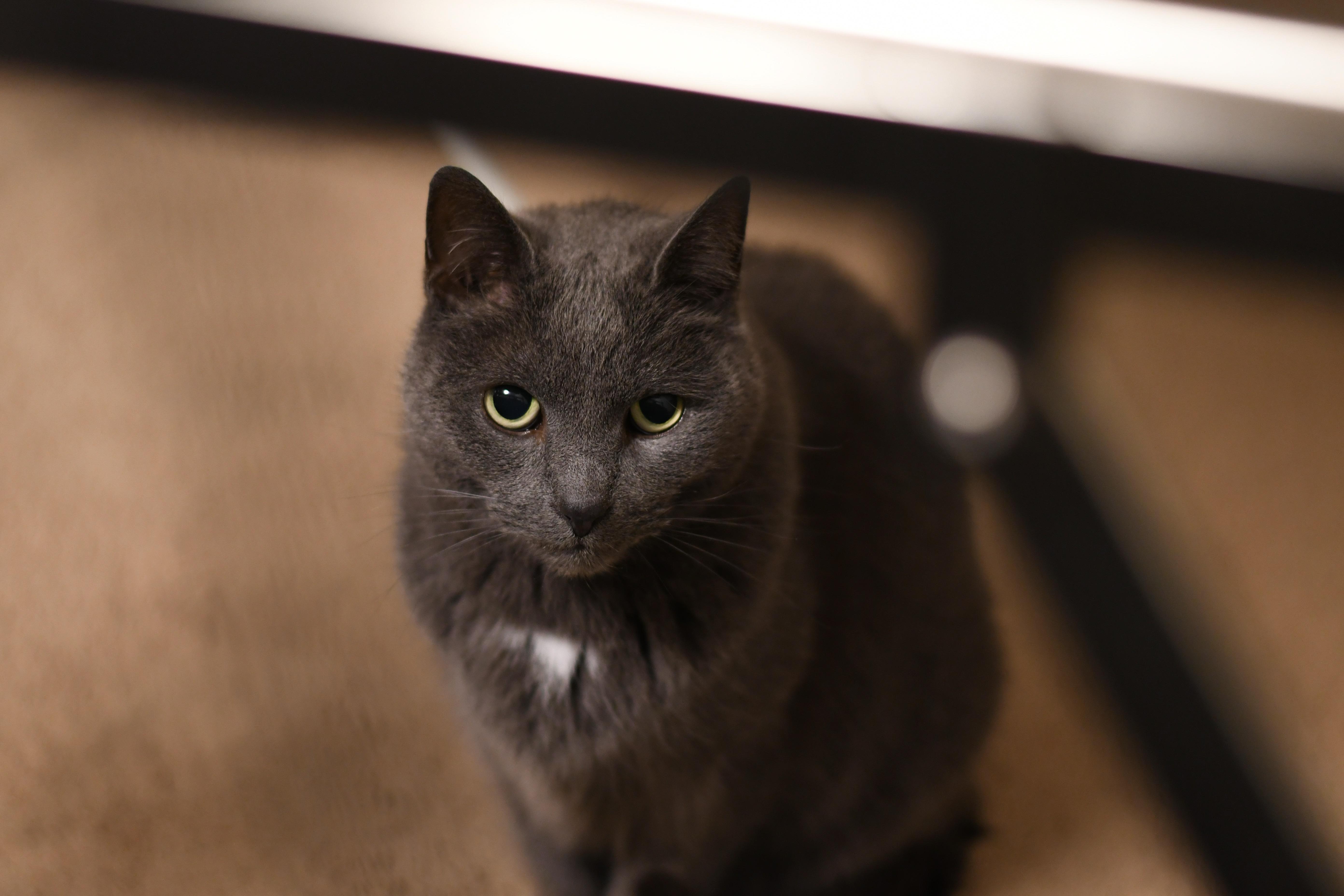 A top down portrait of a grey cat