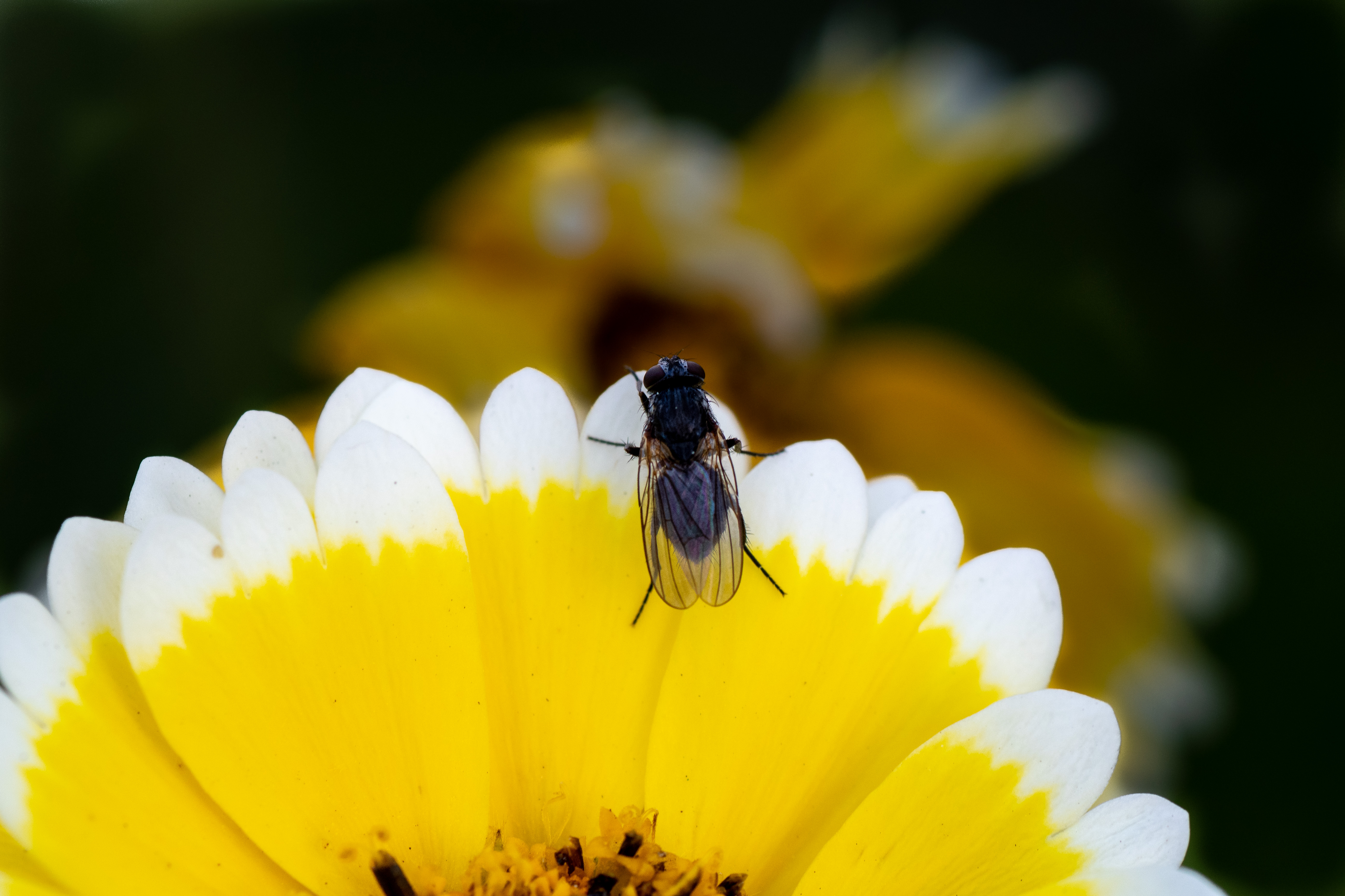 A fly on the edge of a yellow flower