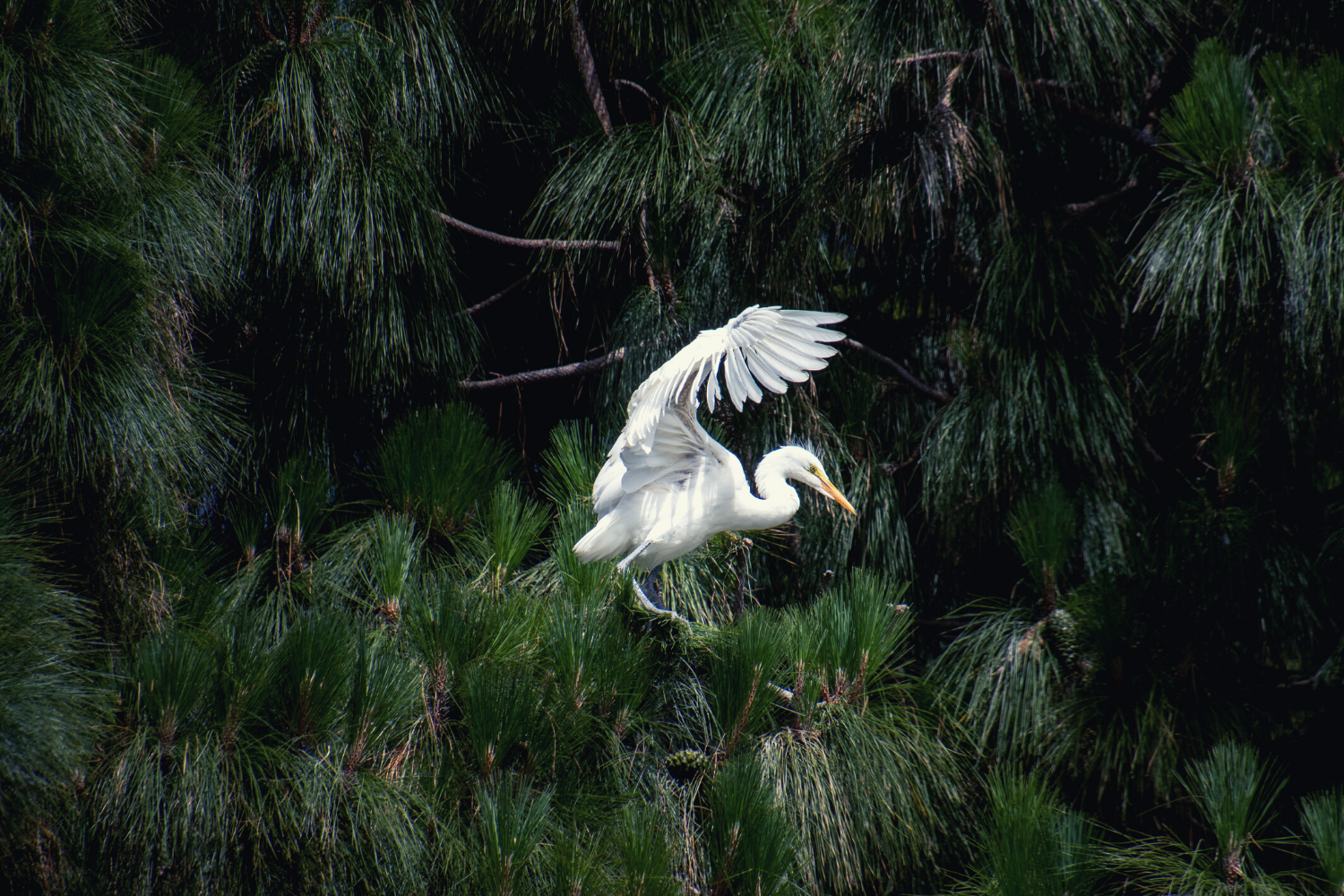 An egret taking off from a nest