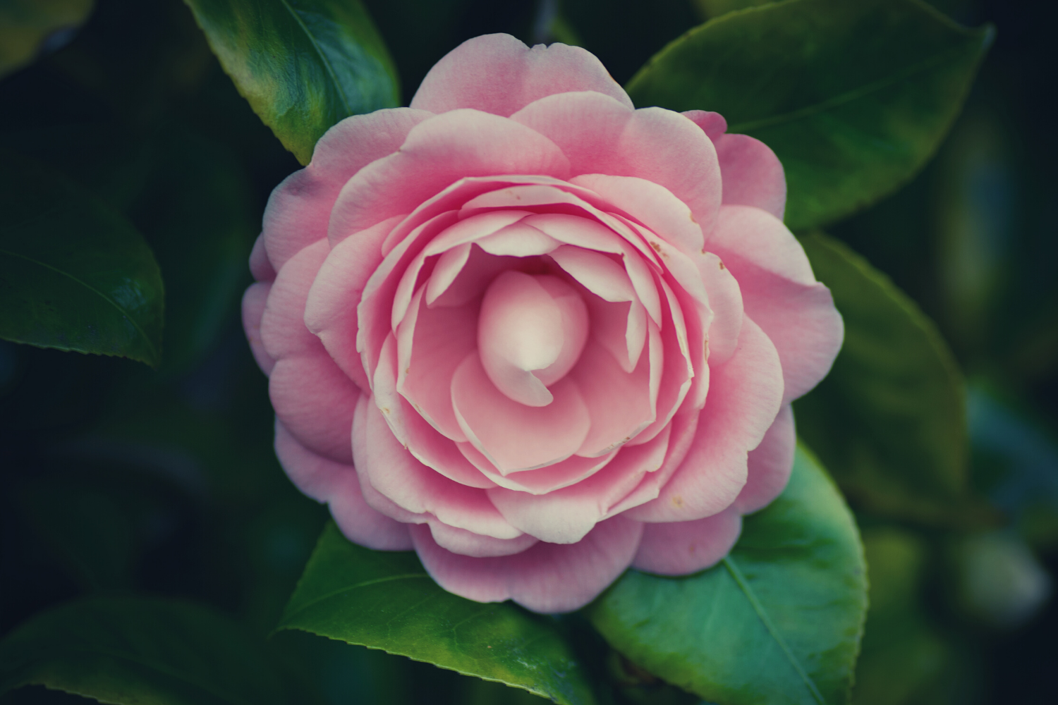 A pink rose surrounded by green leaves