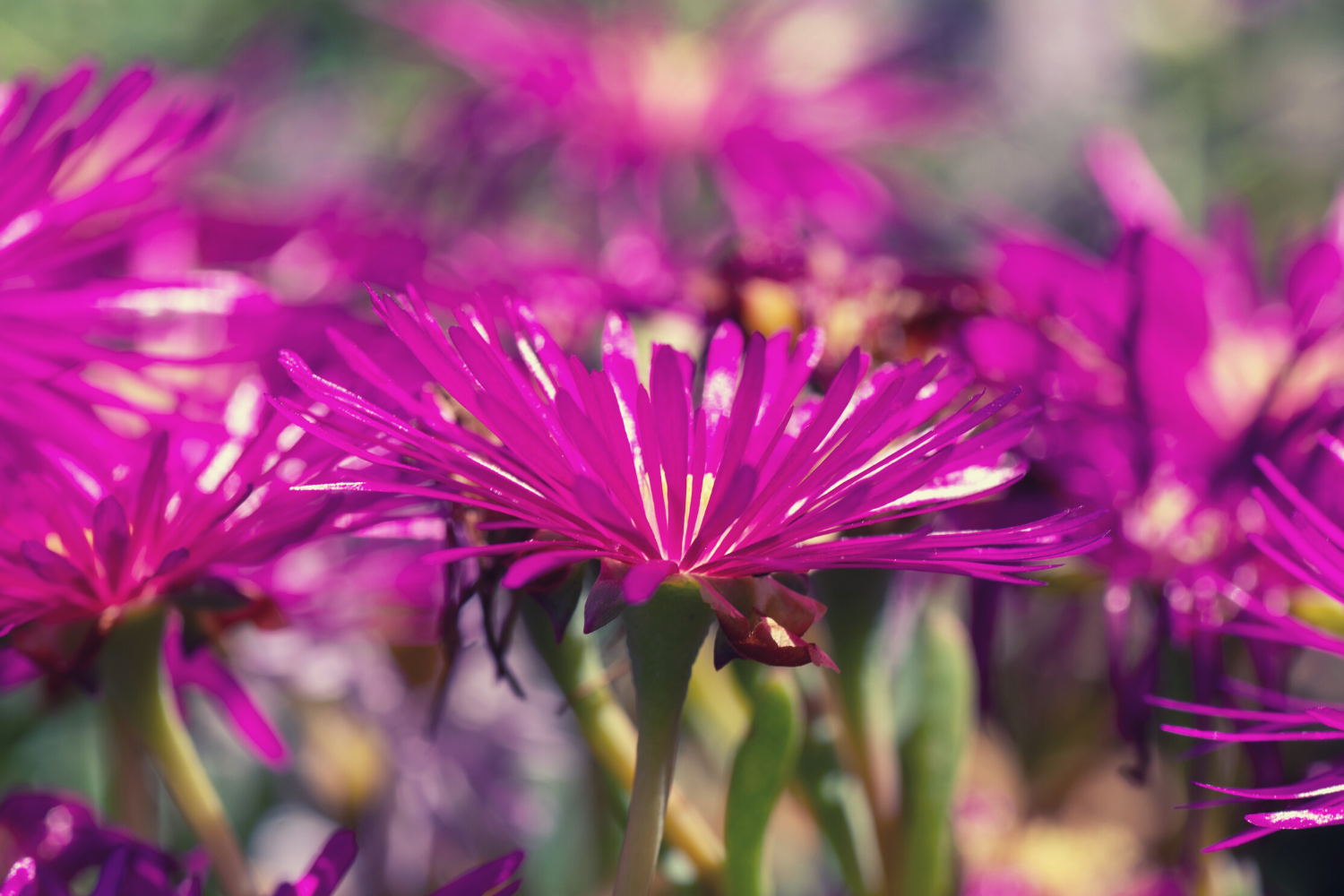 A grouping of pink flowers