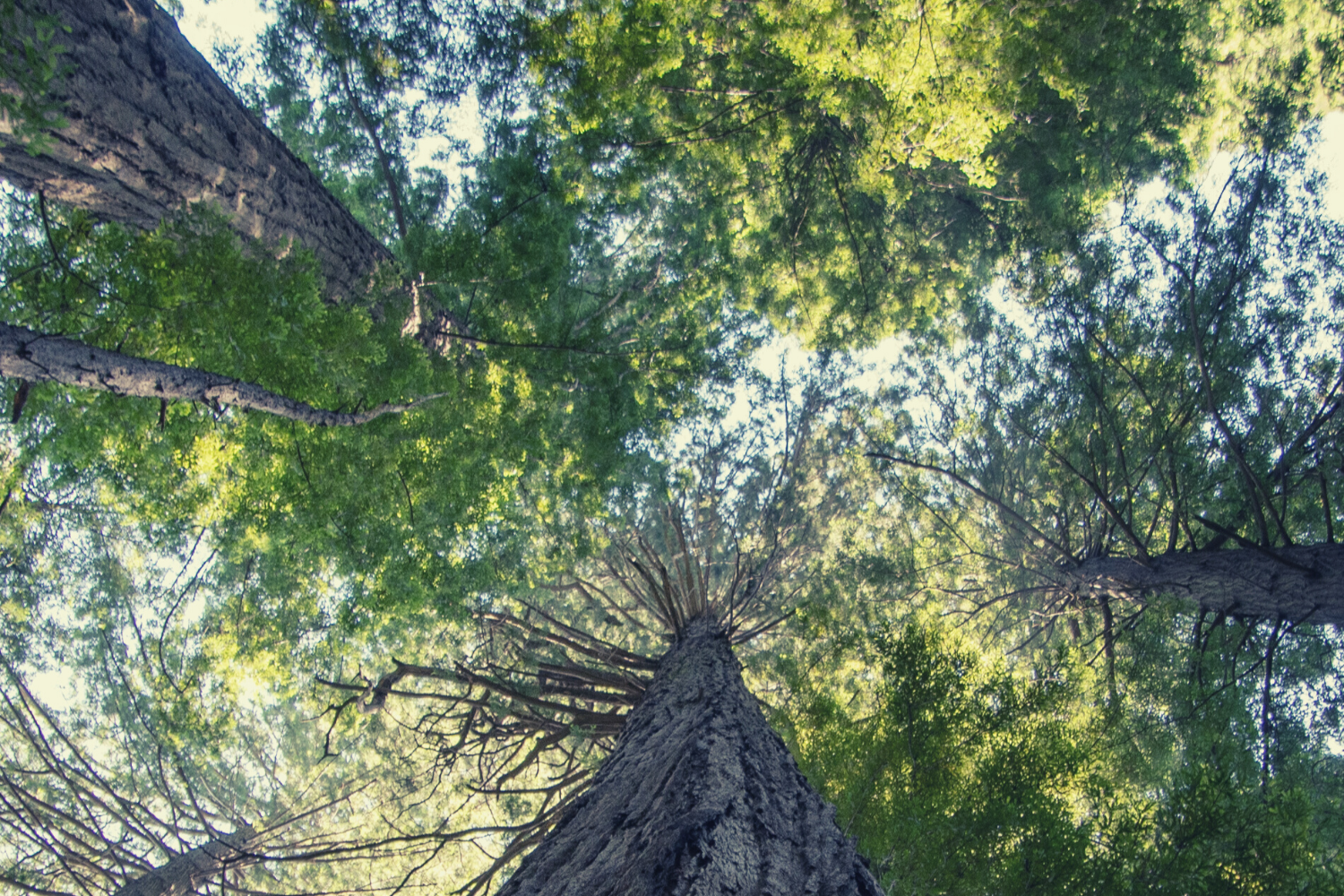 A view up an extreme tall free, along it's bark and toward the branch in the distance