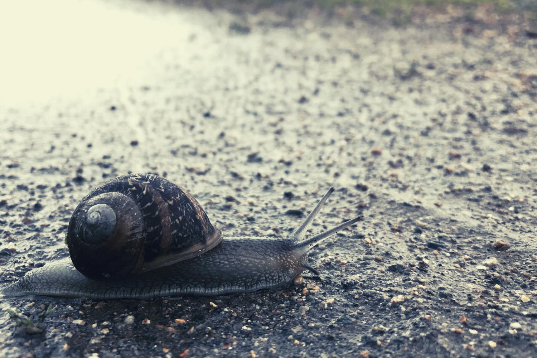A side shot of a snail inching along a wet sidewalk