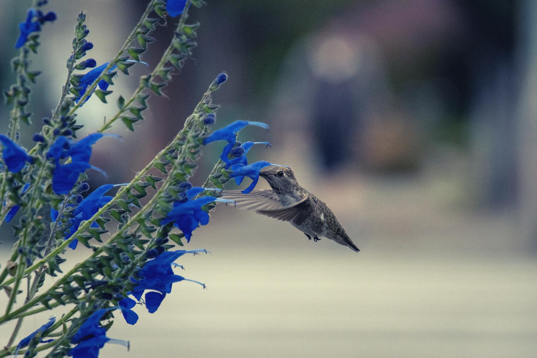 Image of a hummingbird approaching a blue flower