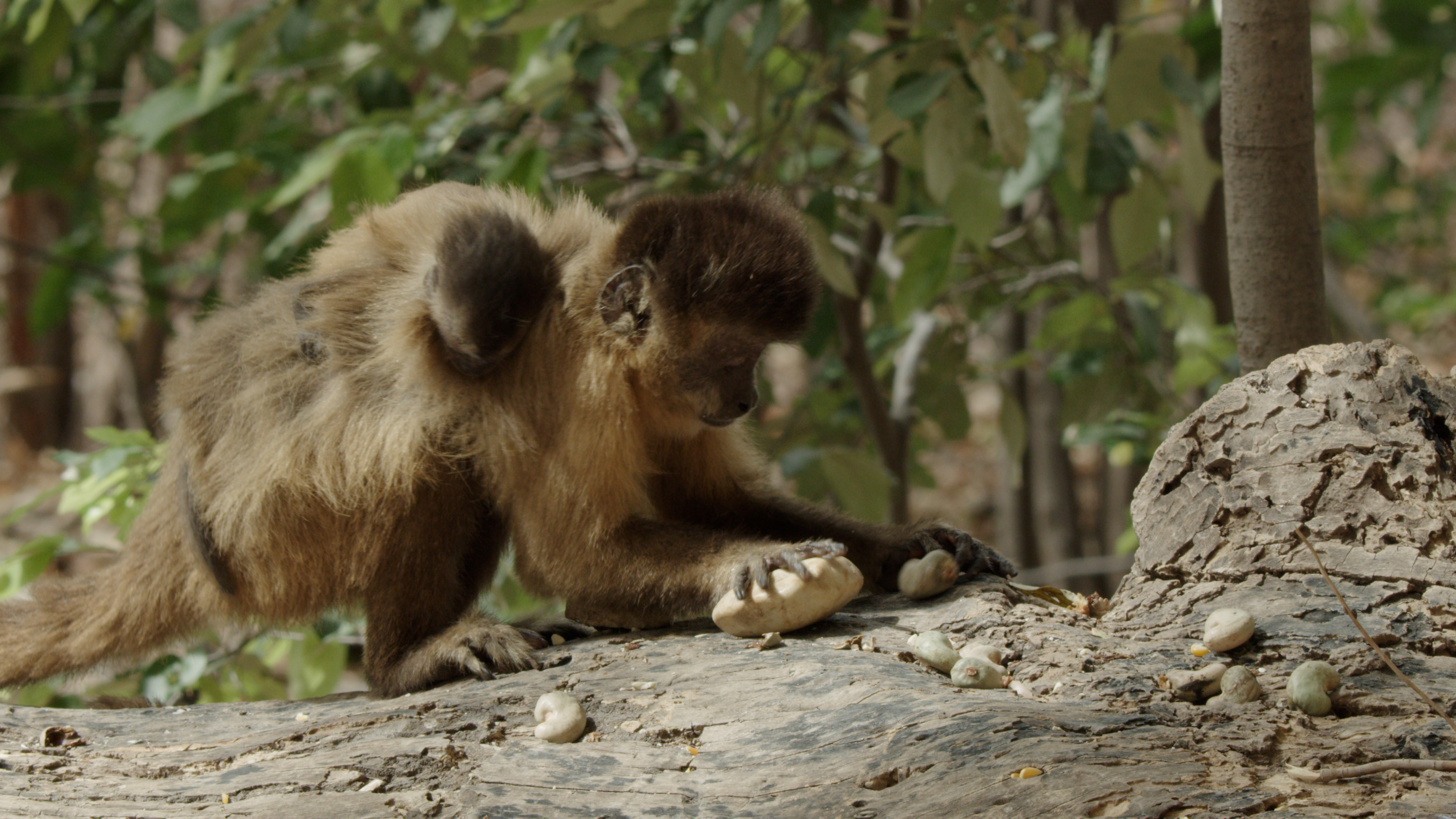 An adult monkey with a baby monkey on its back stands on a fallen tree bends over holding a nut and a rock.